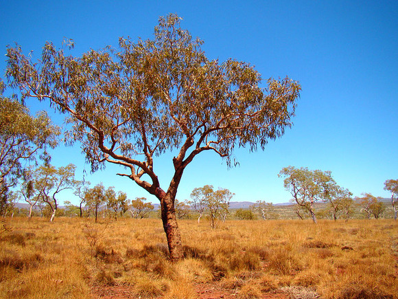 800px-Bloodwood_Tree