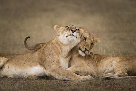 lions (1)