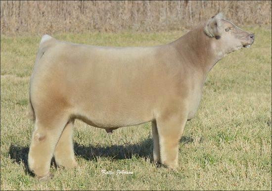 Bovine-Cute-Cuddly-Fluffy-Cows-02