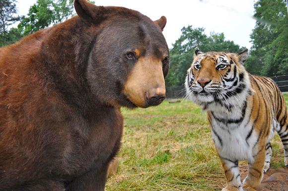 blt-bear-lion-tiger-noahs-ark-rescue-3