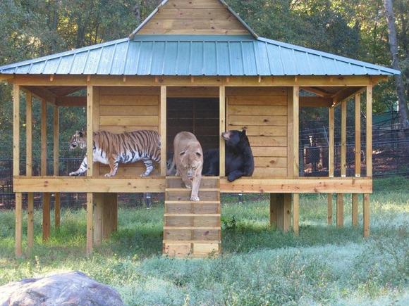 blt-bear-lion-tiger-noahs-ark-rescue-7