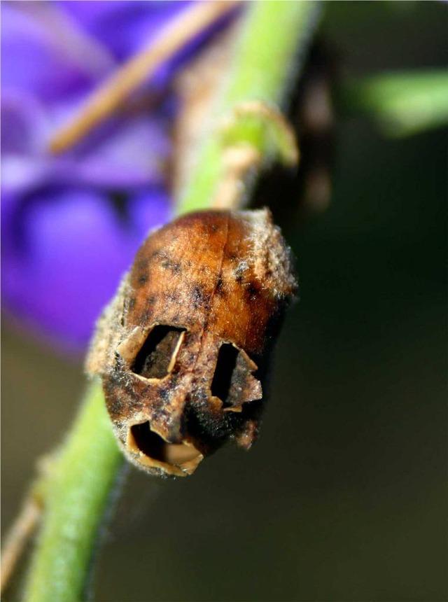 snapgdragon seed pod skull dragons skull 6