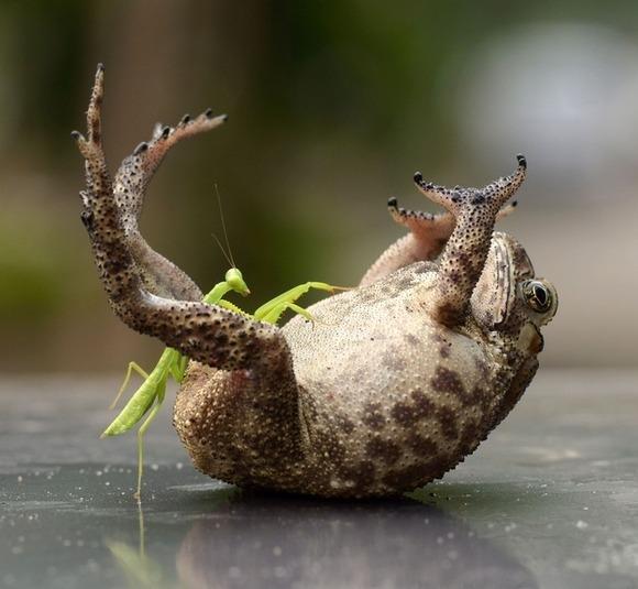 じゃれあうカエルがかわいい