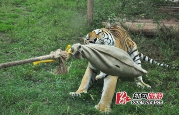 tiger-tug-of-war2-550x355