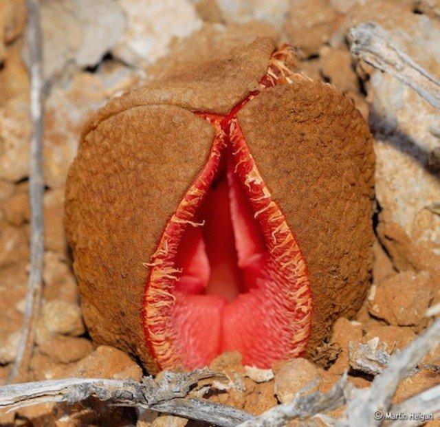 Hydnora-africana-flower
