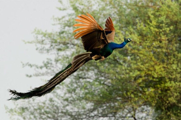 a-flying-peacock