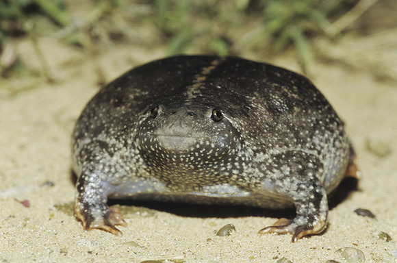 MBTO,019893,Draker_Rolfnp,Mexican_Burrowing_Toad