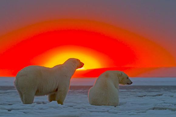 美しい夕日に浮かぶシロクマの姿...