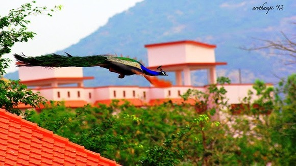 peacock in flight 3