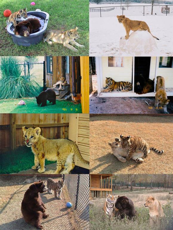 blt-bear-lion-tiger-noahs-ark-rescue-15