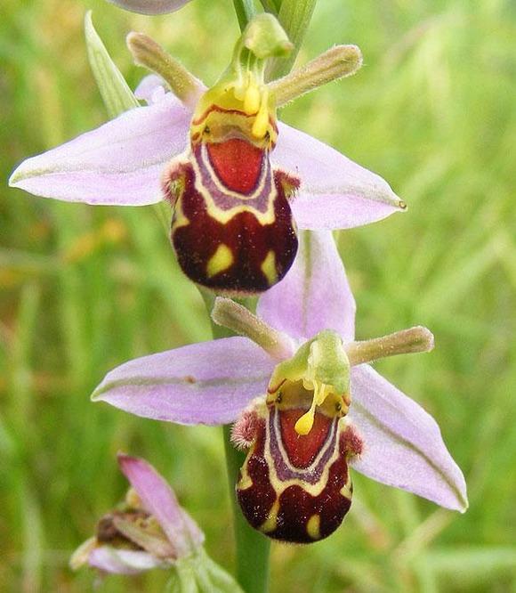 flowers-look-like-animals-people-monkeys-orchids-pareidolia-17