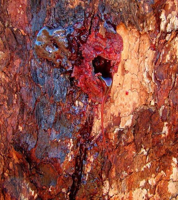533px-Bloodwood_Bleeding