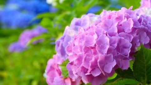 境内に咲いている紫陽花を折って持ち帰った人が寺から晒される