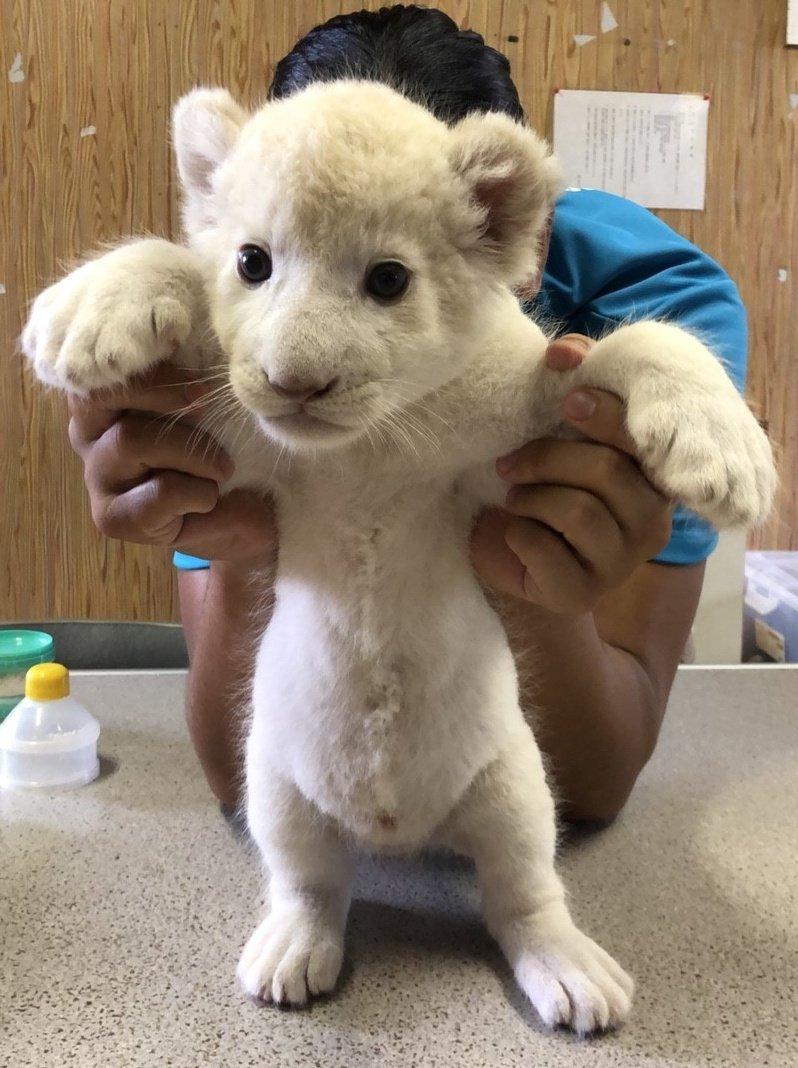 東北サファリパークが赤ちゃんホワイトライオンの肉球を公開