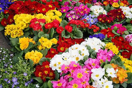 【キチ】伯母さんの家の近所でどの鉢も綺麗な花を咲かせてる人。聞くと伯母家で綺麗に咲いたのから盗んでいくらしい