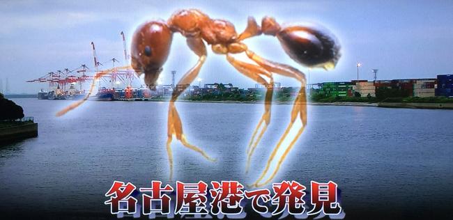【悲報】神戸に続いて名古屋港でヒアリが発見される・・これ、全国的に侵入されているんじゃ・・