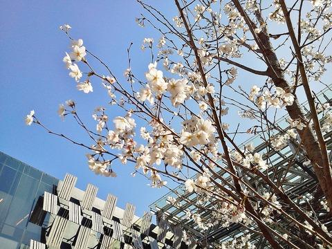 アオーレの桜3
