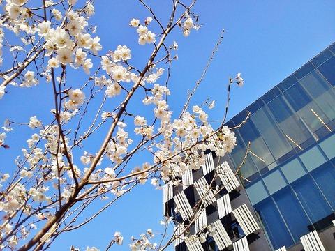 アオーレの桜2
