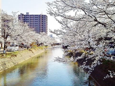 福島江の桜1