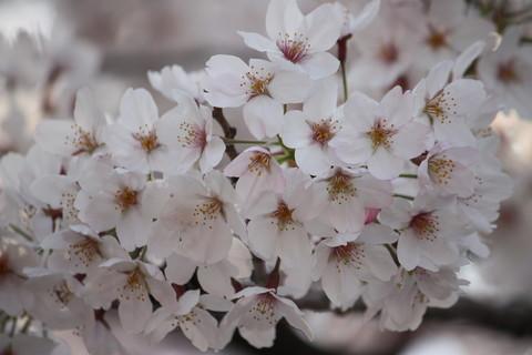 上野公園・桜12