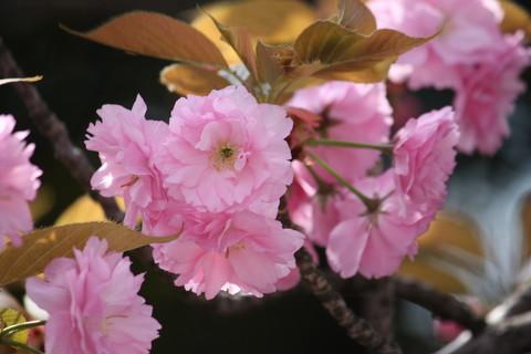 正福寺・八重桜3