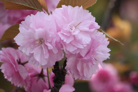 正福寺・八重桜7