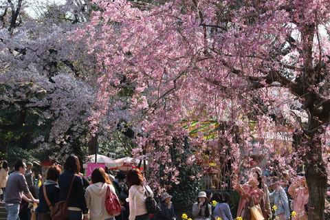 上野公園・桜6