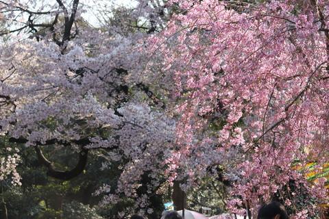 上野公園・桜17