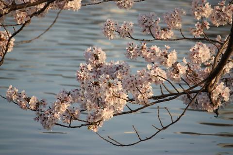 上野公園・桜3