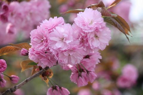 正福寺・八重桜6