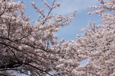上野公園・桜9