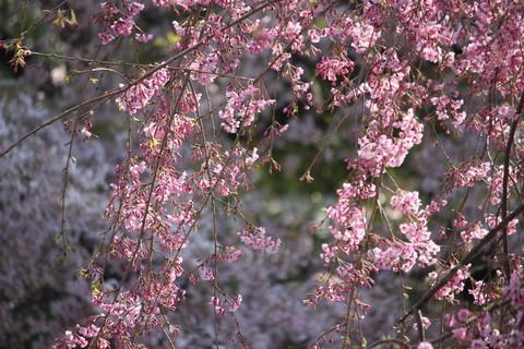 上野公園・桜4