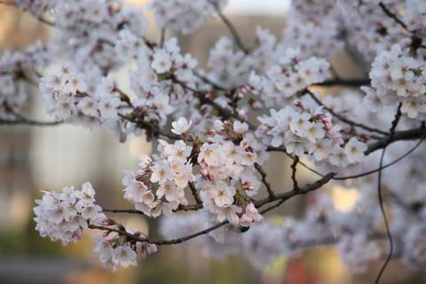 上野公園・桜10