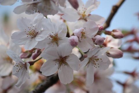 上野公園・桜13