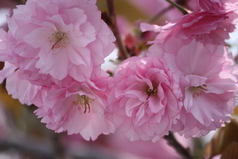 正福寺・八重桜9