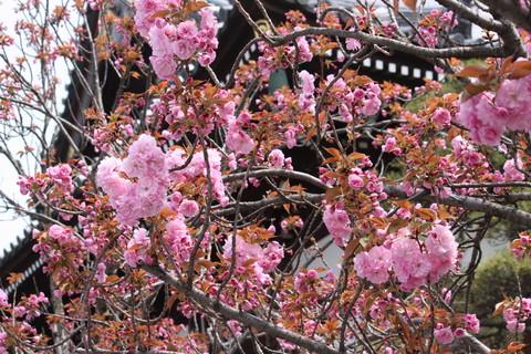 正福寺・八重桜2