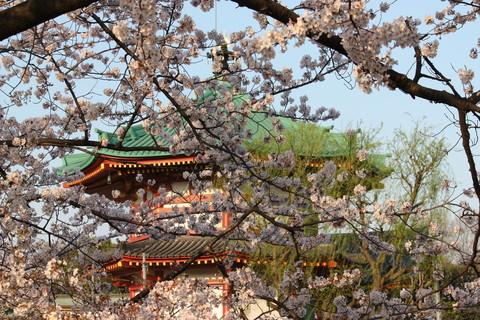 上野公園・桜8