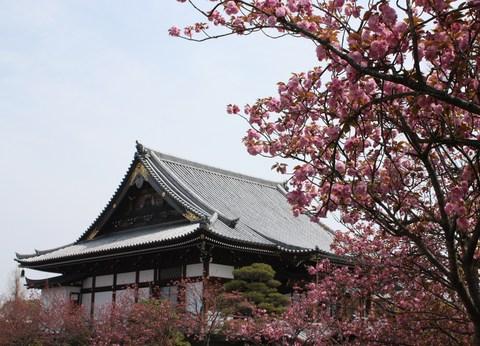 正福寺・八重桜1