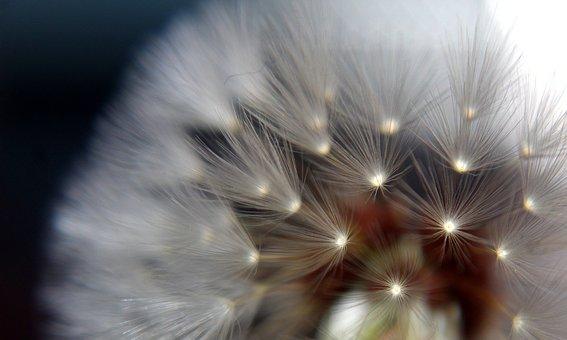 dandelion-3526209__340