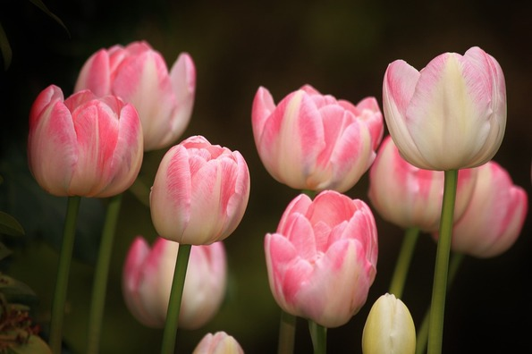 tulips-754181_960_720