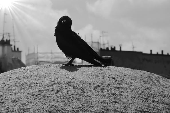carrion-crow-313156_960_720