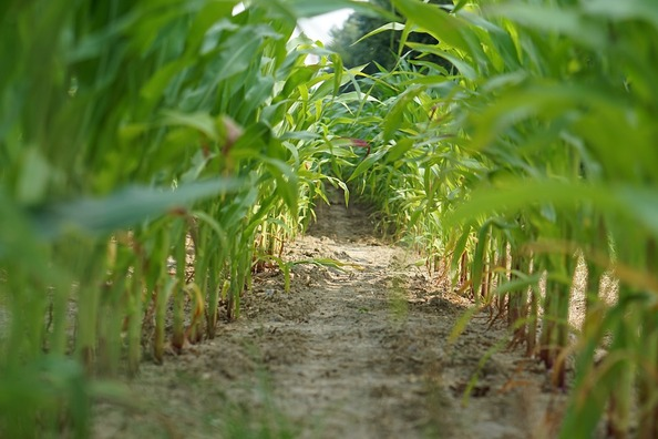cornfield-1556721_960_720