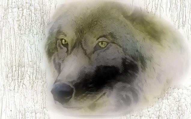 wolf-388419_960_720