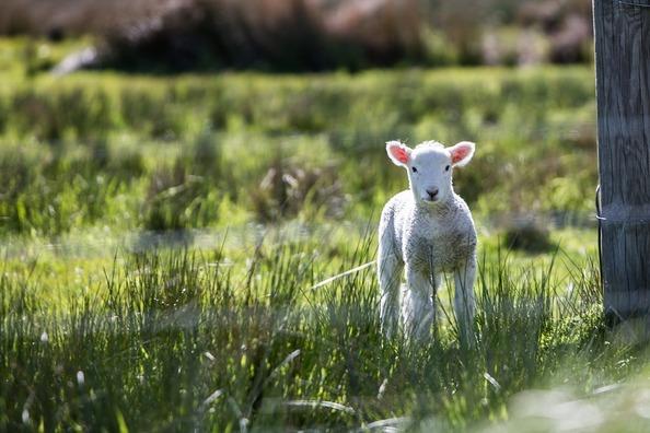 lamb-1081950_960_720