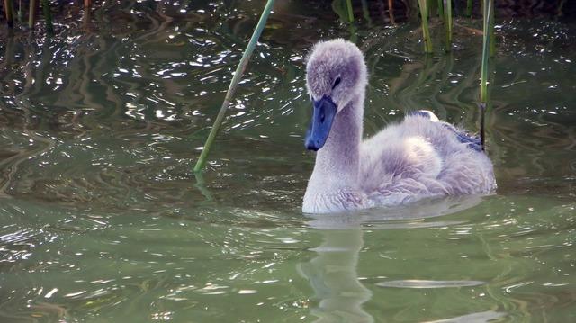 swan-1538395_960_720
