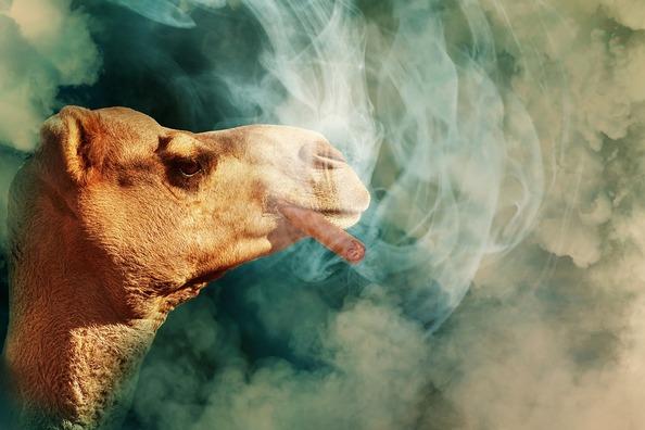 camel-3682179_960_720