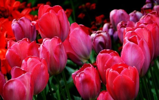 tulips-264883_960_720