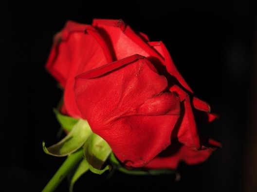 rose-2119616_960_720