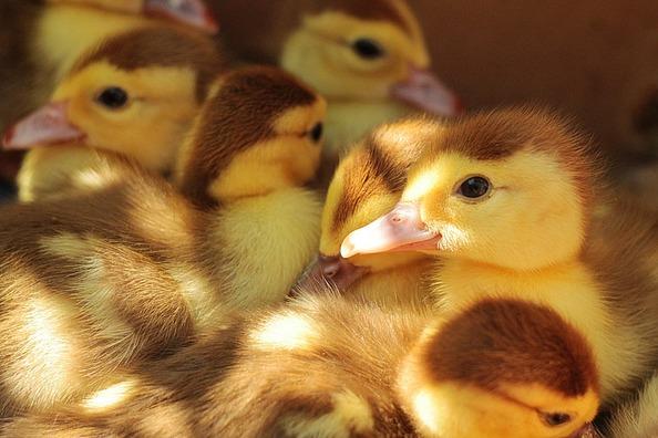 ducklings-984298_960_720
