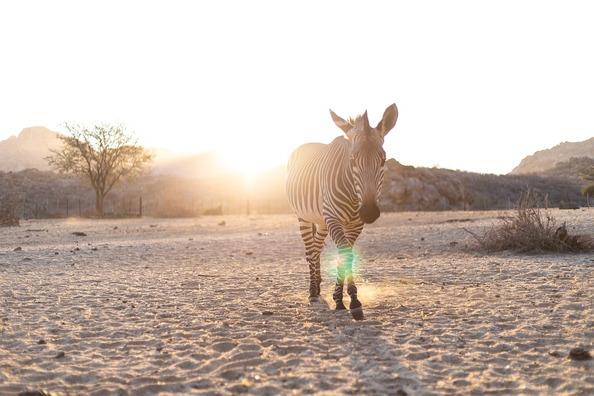 zebra-3758294_960_720